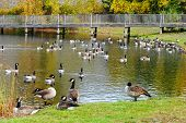 Many Canadian Geese In A Pond During Autumn