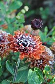 Icicle Brown Flower