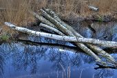 Birch trees in a bog in Winterswijk in the Netherlands