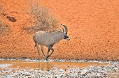 Roan Antelope At Waterhole