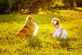 stock photo of sheltie  - Little girl and dog breed sheltie playing outdoors on a sunny day - JPG