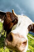 stock photo of calf cow  - Cow farm animal in the french alps Abondance race cow savy beaufort sur Doron - JPG