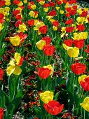 """Kings Blood"" and ""Golden Parade"" tulips"