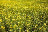 Yellow Mustard Seed In Field