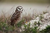 Curious Burrowing Owl