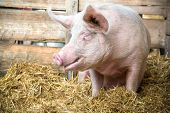 picture of animal husbandry  - Pig on hay and straw at pig breeding farm - JPG