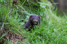 picture of mink  - American Mink - JPG