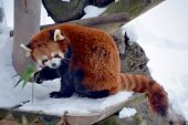 stock photo of panda  - The red panda  - JPG