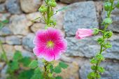 picture of hollyhock  - Alcea rosea is known as common hollyhock - JPG
