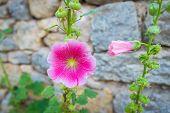 picture of hollyhock  - Alcea rosea is known as common hollyhock - JPG