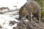stock photo of javelina  - Piglet wild peccary - JPG