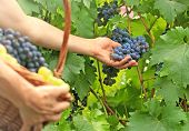 Постер, плакат: Picking grapes