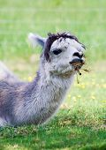stock photo of alpaca  - Face of alpaca  - JPG