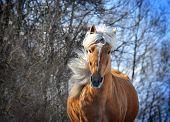 stock photo of chestnut horse  - The palomino horse with long mane portrait - JPG