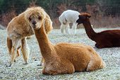 stock photo of alpaca  - Herd of alpacas  - JPG