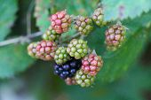 picture of blackberries  - Raw and ripe berries on branch. Fresh blackberries in a garden. Huge torn-free blackberries begin to ripen.
