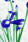 pic of purple iris  - big purple iris on a white background  - JPG