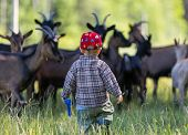 image of pasture  - Little boy chasing goats on pasture - JPG