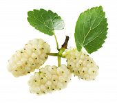 picture of mulberry  - white mulberries isolated on the white background - JPG
