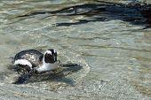pic of jackass  - African Penguins  - JPG