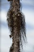 picture of peculiar  - Northern pine - JPG