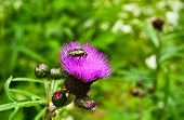 picture of summer insects  - Chafer beetle on flower of Thistle. Flowers and insects in early summer. ** Note: Visible grain at 100%, best at smaller sizes - JPG