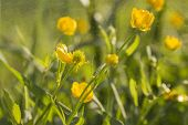 pic of buttercup  - green wallpaper of macro buttercups with wet mist and selective focus and flying water particle - JPG