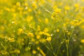 stock photo of buttercup  - yellow wallpaper with buttercups in green meadow with sunshine shallow dof - JPG