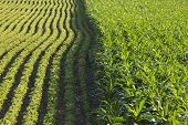 stock photo of soybeans  - Rows of corn and soybeans next to each other in a sunlit field on a summer day - JPG