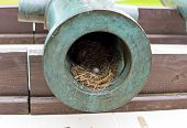 picture of bird egg  - Bird eggs in the trunk of an old cannon - JPG