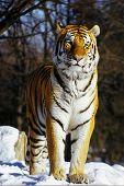 Постер, плакат: Сибирский тигр