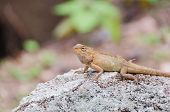 stock photo of lizard skin  - Brown lizard on a large stone in tropical wood
