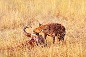 stock photo of hyenas  - Hyena eating a pray Masai Mara - JPG