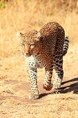 pic of leopard  - Female leopard walking slowly and looking for its pray in Masai Mara Kenya - JPG