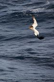 stock photo of aerobatics  - Albatross performs aerobatics during hunting for flying fish - JPG