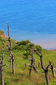 picture of sakhalin  - dry pine trees on the seafront on the island of Sakhalin - JPG