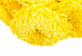 foto of mums  - Border of yellow mum flowers close up isolated on white background - JPG