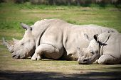 stock photo of rhino  - Baby Rhino and Mother laying down sleeping - JPG