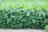 pic of soybeans  - Front view of summer soybean field on cloudy day - JPG