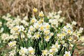 image of daffodils  - White Double Daffodil - JPG