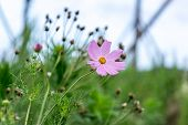 pic of cosmos  - a wild cosmos in a field of cosmos near the gangneung gyeongpo wetlands park in south korea - JPG