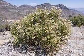 foto of apache  - Beautiful big Fallugia paradoxa Apache plume bush in full bloom on top of Turtle Head Peak in Red Rock Canyon Nevada - JPG