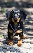 stock photo of dachshund dog  - breed dachshund dog is at home on carpet - JPG
