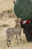 stock photo of cheetah  - Adult cheetah gnaw cover of spare wheel at safari vehicle with tourists Masai Mara National Reserve Kenya East Africa - JPG