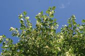 image of linden-tree  - The blossoming linden tree in the garden - JPG
