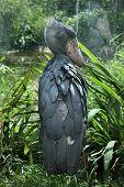 image of rainforest animal  - Shoebill  - JPG