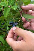 foto of honeysuckle  - hands of a woman gathering berries honeysuckle in the garden - JPG