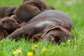 stock photo of puppies mother dog  - Female labrador retriever dog with her litter of adorable young brown pups. ** Note: Shallow depth of field - JPG