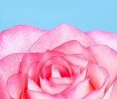 pic of blue rose  - fresh pink rose flower - JPG