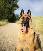 foto of herding dog  -  a german shepherd dog out in nature looking at a ball to be thrown  - JPG